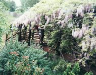 Monet's Bridge in full wisteria 1990